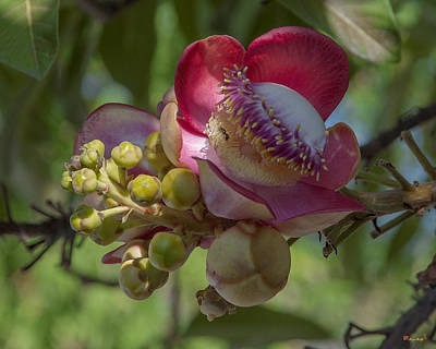 Photograph - Sara Tree Or Cannonball Tree Flower And Buds Dthn0195 by Gerry Gantt