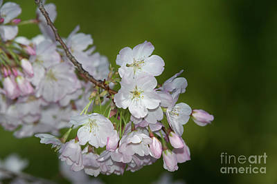 Photograph - Saratoga Cherry Blossoms by Glenn Franco Simmons