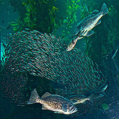 Sardine Frenzy In Monterey Aquarium-california  Art Print by Ruth Hager