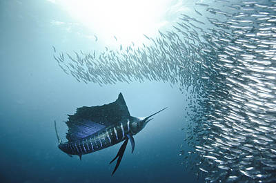 Sardine Run #42 Art Print by Alexander Safonov