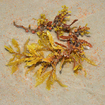 Photograph - Sargassum Beached by RD Erickson