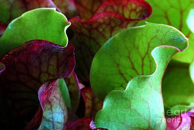 Sarracenia Purpurea 1 Original
