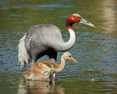 Photograph - Sarus Crane Family Portrait by Dawn Currie
