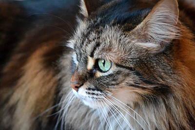 Coon Cat Photograph - Sasha In Profile by Fraida Gutovich