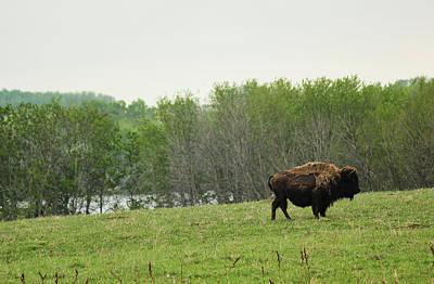 Photograph - Saskatchewan Buffalo by Ryan Crouse