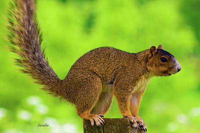 Fox Squirrel Photograph - Sass by Betsy Knapp