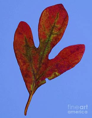 Landscapes Painting - Sassafras Leaf by Eric  Schiabor