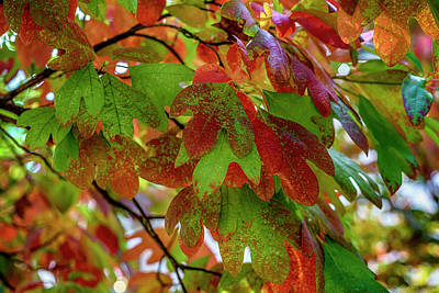 Photograph - Sassafras Tree Fall Colors 7r2_dsc1842_16-10-09 by Greg Kluempers