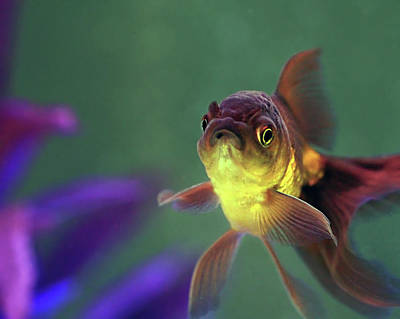 Photograph - Sassy Oranda by Angela Murdock