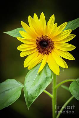 Photograph - Sassy Sunflower by Sabrina L Ryan