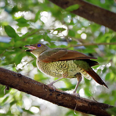 Photograph - Satin Bowerbird by Nicholas Blackwell