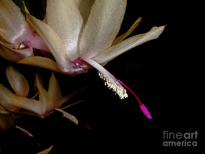 Photograph - Satin Petals by Judy Hall-Folde