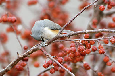 Tufted Titmouse Photograph - Satisfaction by Betty LaRue