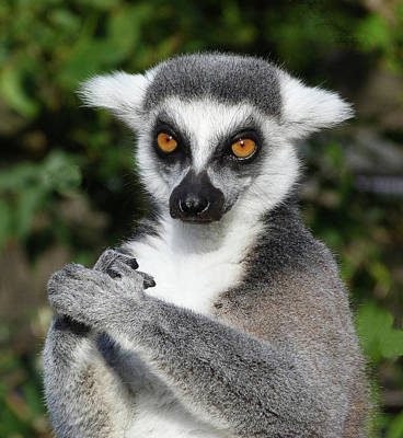 Photograph - Satisfied Ring-tailed Lemur by Margaret Saheed