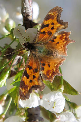 Photograph - Satyr Comma by Frank Townsley