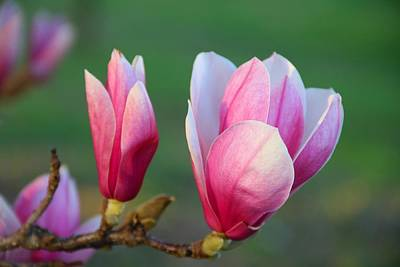 Photograph - Saucer Magnolia 2 by Kathryn Meyer