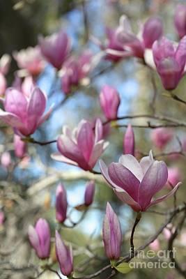 Photograph - Saucer Magnolia Focus by Carol Groenen
