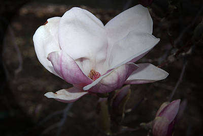 Photograph - Saucer Magnolia Portrait by Margie Avellino