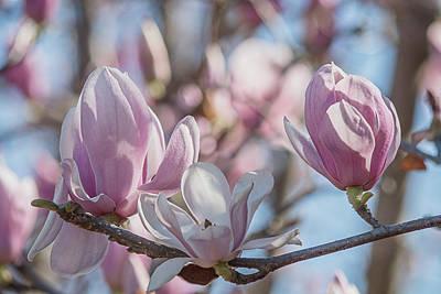 Photograph - Saucer Magnolias by Teresa Wilson