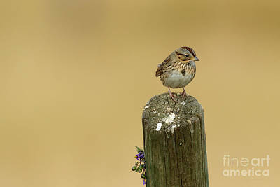Photograph - Lincoln's Sparrow by Beve Brown-Clark Photography