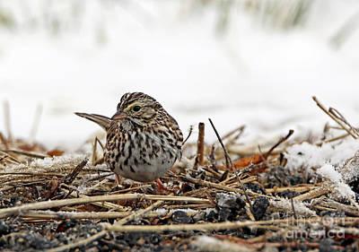Photograph - Savanna Sparrow by Elizabeth Winter
