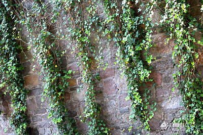 Photograph - Savannah Ivy Wall by Carol Groenen