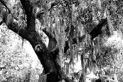 Photograph - Savannah Live Oak by John Rizzuto