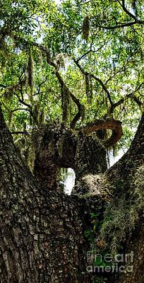 Photograph - Savannah Live Oak by Paul Wilford