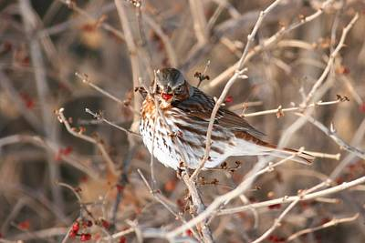 Photograph - Savannah Sparrow 2 by David Dunham