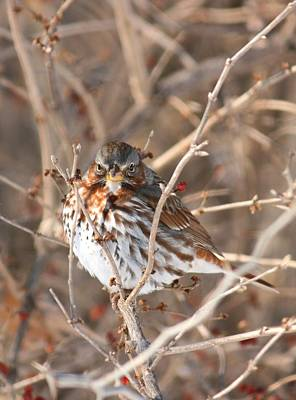 Photograph - Savannah Sparrow 7 - Leave Me Be by David Dunham