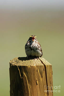 Photograph - Savannah Sparrow by Alyce Taylor