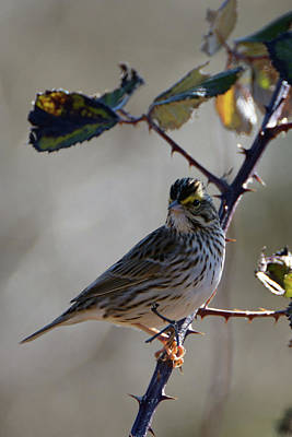 Photograph - Savannah Sparrow by Chris LeBoutillier