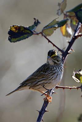 Photograph - Savannah Sparrow by Chris LeBoutillier