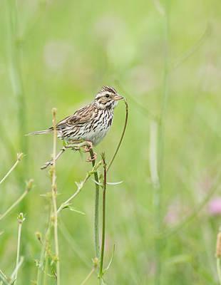 Photograph - Savannah Sparrow by Jim Zablotny