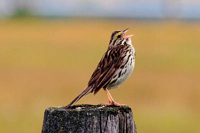 Photograph - Savannah Sparrow by Laurie Pelham