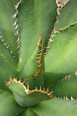 Photograph - Saw Edged Agave by Cate Franklyn