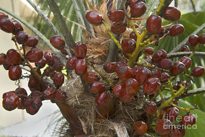 Saw Palmetto Photograph - Saw Palmetto Berries by Inga Spence