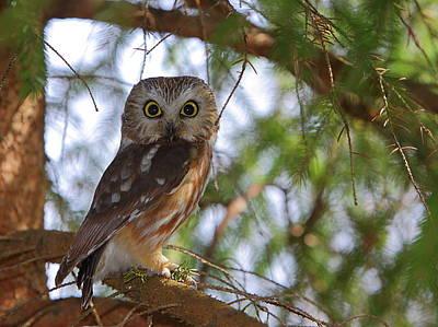 Whet Owl Photograph - Saw-whet Owl by Bruce J Robinson