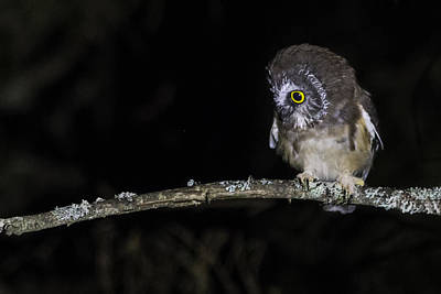 Photograph - Saw Whet Owl by Chris Whiton