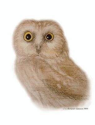 Drawing - Saw Whet Owl by Jennie  Richards