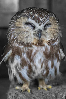 Photograph - Saw Whet Owl by John Meader
