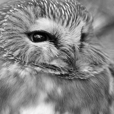 Photograph - Saw-whet Owl by Joshua McCullough