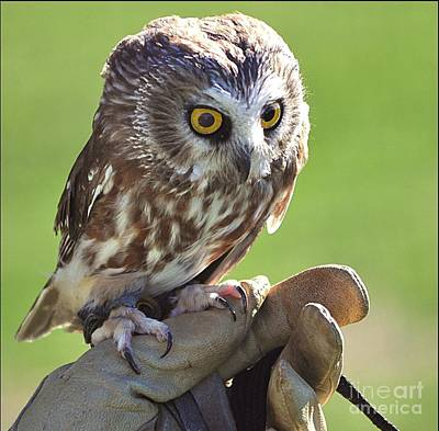 Whet Owl Photograph - Saw-whet Owl by Kevin Hertle