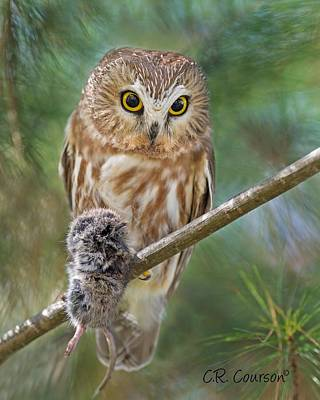 Photograph - Saw-whet Owl With Prey by CR  Courson