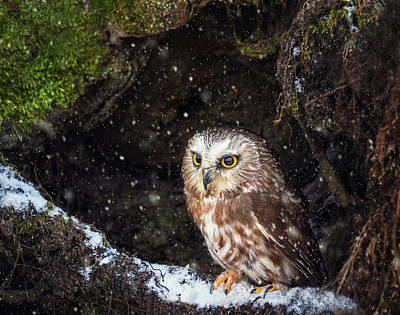 Photograph - Saw Whet by Tracy Munson