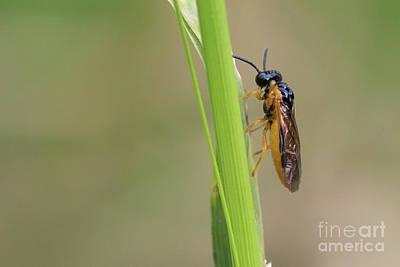 Photograph - Sawfly - Selandria Serva by Jivko Nakev