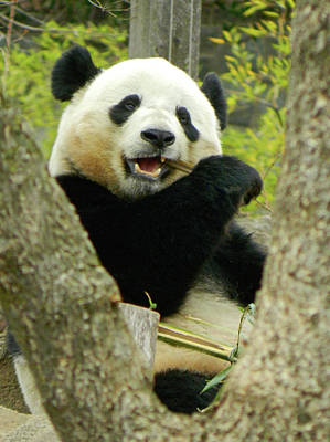 Photograph - Saying Goodbye To Bao Bao The Giant Panda by Emmy Marie Vickers