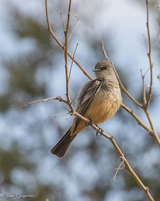 Photograph - Say's Phoebe by Dee Carpenter
