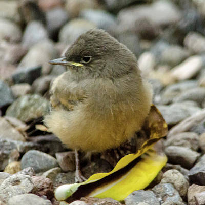 Photograph - Say's Phoebe Fledgling by John Brink
