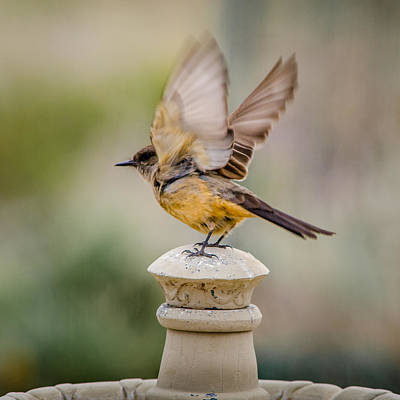 Photograph - Say's Phoebe I'm Out Of Here Bird by John Brink